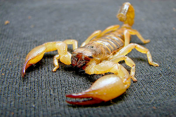 Bombeiros alertam para riscos de picadas de escorpião