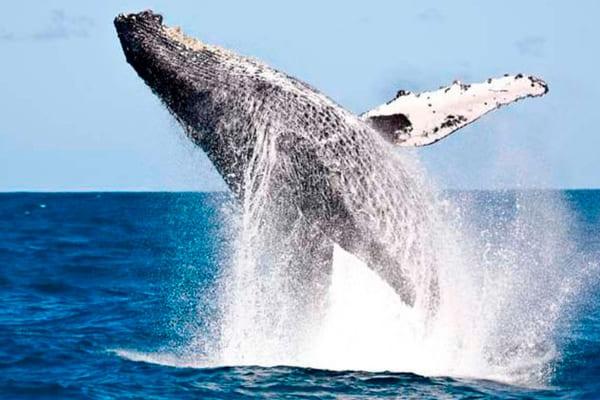 Proposta que abria espaço para liberação da caça de baleias é derrotada