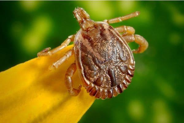 Notificações de febre maculosa continuam aumentando