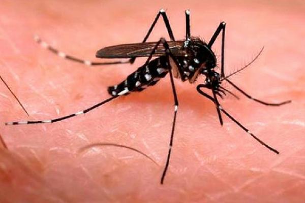 Pesquisa desenvolve Aedes aegypti que só produz ovos estéreis