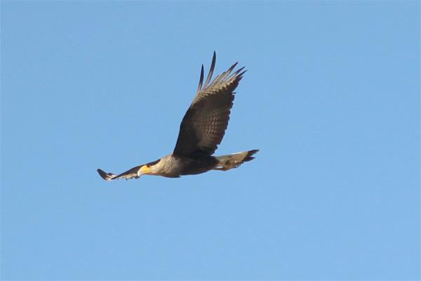 Aves rapina cruzam o céu da cidade
