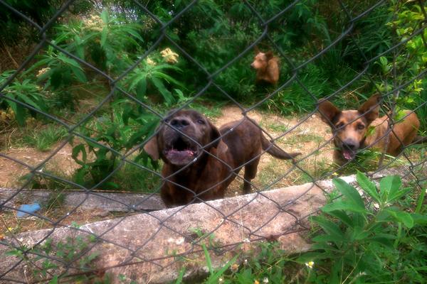 Cães maltratados sofrem para conseguir alimentos