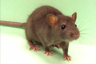 Excesso de ratos no bairro Tijuca
