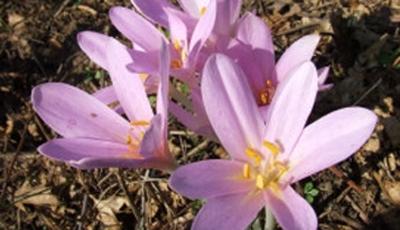 Flor usada no Egito antigo tem sucesso contra câncer em pesquisa