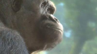 Casamento 'arranjado' de gorilas em zoo tem fim trágico nos EUA