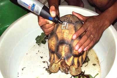Tartarugas raras são 'tatuadas' para evitar tráfico