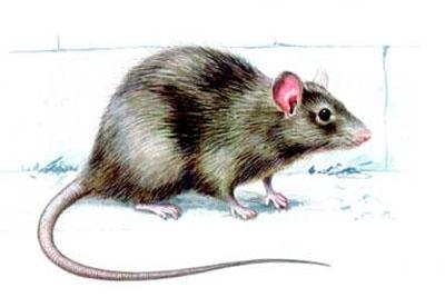 Assunto: Ratos