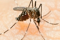Segundo caso de Febre Chikungunya � confirmado em Minas